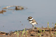 A killdeer chick walks near the edge of a shallow body of water.