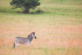 Zebra grazing in a new green field with a tree in the background poster