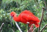 ibis rouge poster
