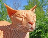 ugly monster bald cat poster
