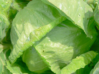 Fresh green cabbage with drops water on leaf