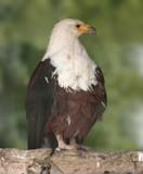 eurasian sea eagle poster