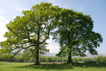 Two trees in field in Coniston