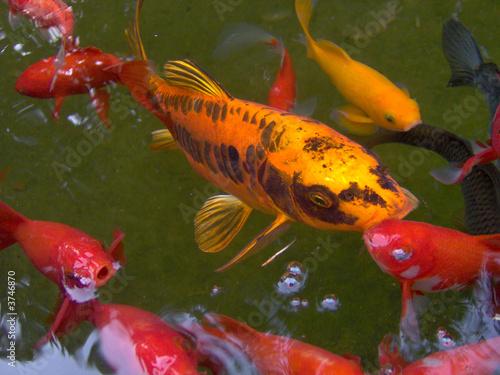carpe koi dans un bassin de poissons rouge photo libre de droits sur la banque d 39 images. Black Bedroom Furniture Sets. Home Design Ideas