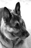 German Shepherd closeup poster