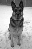 Portrait of a German Shepherd Dog in the snow poster