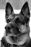 German Shepherd Dog portrait in snow poster