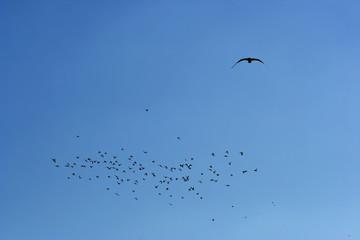 many flying pigeons on sky background
