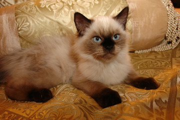 Himalayan Kitten on Gold Series