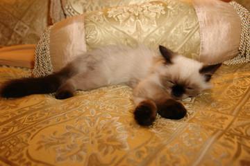 Himalayan Kitten on Gold Series