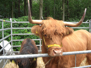 Highland Cattle Rind