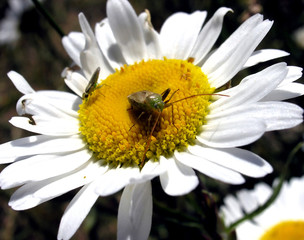 Insects over Daisy.