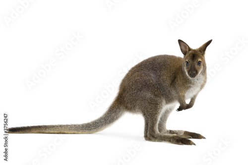 Deurstickers Kangoeroe Wallaby in front of a white background