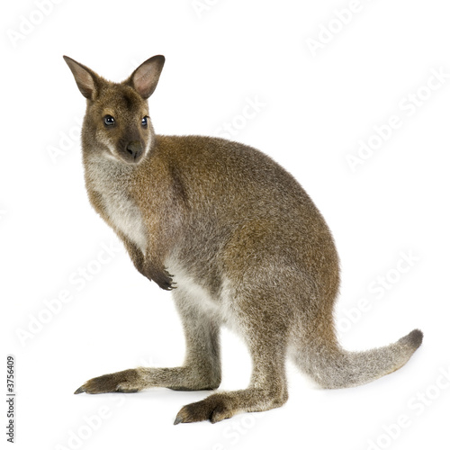 Papiers peints Kangaroo Wallaby in front of a white background