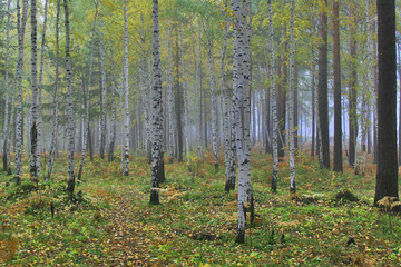 autumn yellow birch forest in the morning