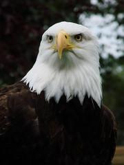 Bald Eagle (haliaeetus leucocephalus) Portrait