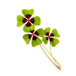 four leaf clover on white