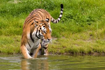 A portrait of a bathing tiger