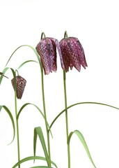Young Snakeshead Fritillary Flowers