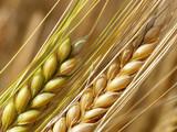 wheat straws - 3764891