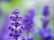Quadro lavender flower