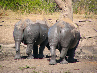 Rhinos' bottoms