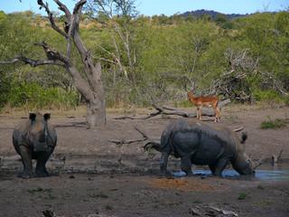 Rhinos and impala