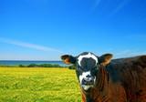 Cow in Flowered Seaside Meadow poster