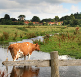 Cows Grazing in an English Water Meadow poster