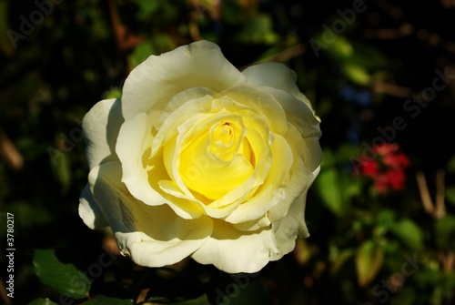 large yellow rose.