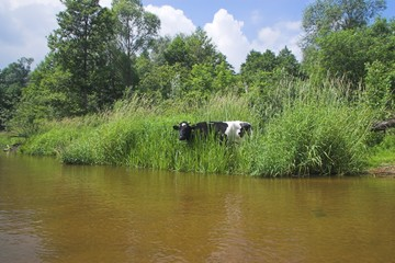 Cow at the river