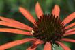 Echinacea purpurea Arts pride