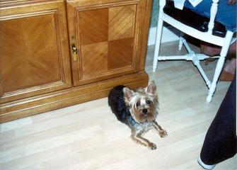 small long hair dog
