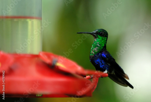 humming bird. ecuador. south america