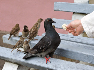 The pigeon and sparrows