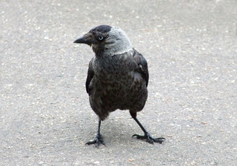 Jackdaw on sidewalk