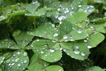 green leafs and drops of water