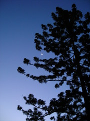 Crescent moon through native Australian pine 1