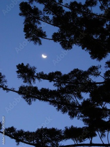 Crescent moon through native Australian pine 2