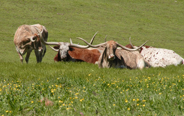 Longhorns at rest