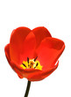 Tulip isolated against a white background