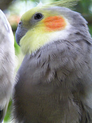 Close up of a perching grey cockatiel.