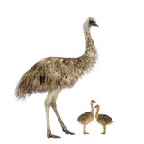Emu and her chicks in front of a white background