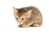 Tabby kitten on white background poster