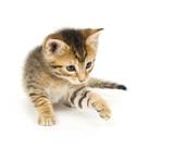 tabby kitten playing poster
