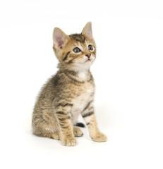 Tabby kitten sitting