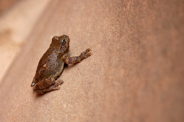 A small frog on a sandstone rock.