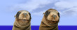 Nosey Funny Sea Lions