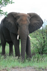elephant in the kruger park south africa
