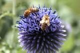 Fototapeta abeilles et chardon